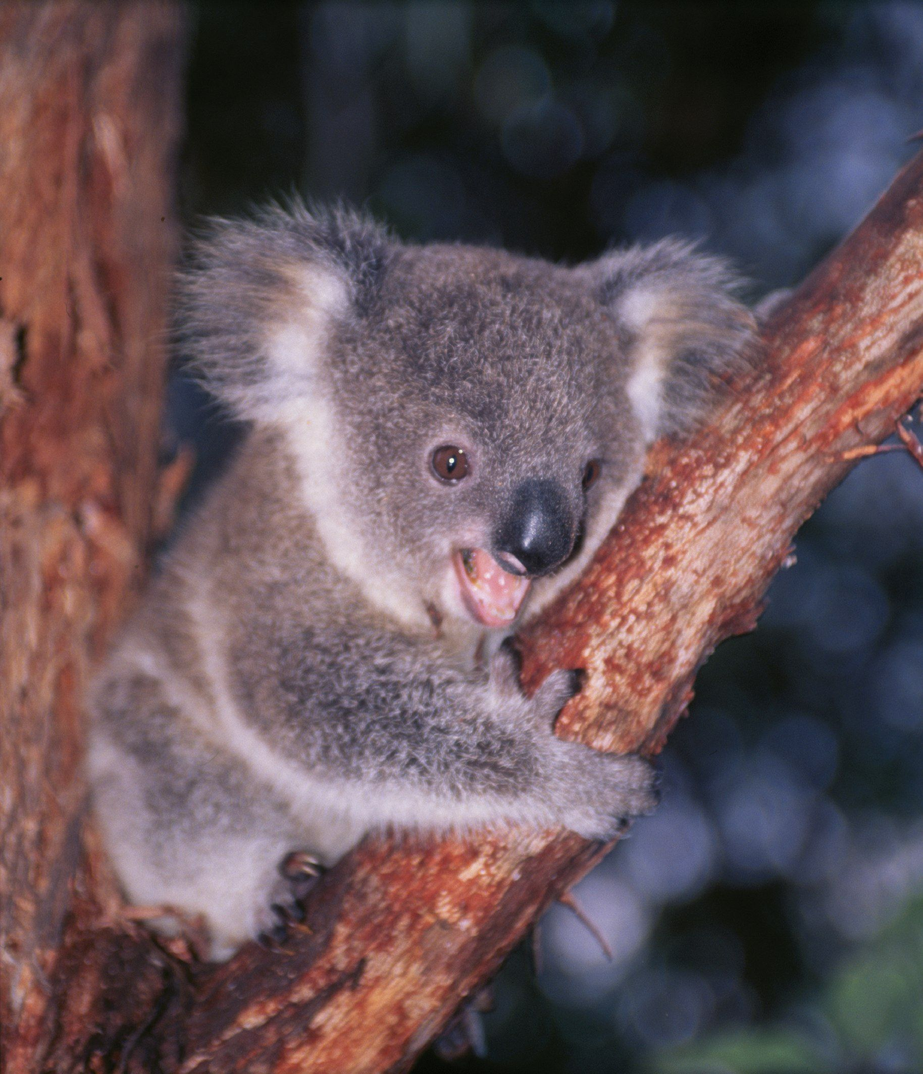 1000+ images about Koalas So Cute on Pinterest | Sweet ...