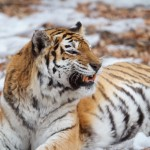 IMG_0594 - Russian Tigers