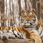 IMG_0650 - Russian Tigers