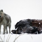 Nature: Wolves and Buffalo
