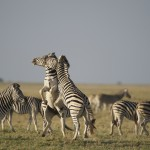 Two zebra stallions fight on an island in the Makgadikgadi Pans.