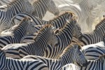 A herd of zebra stampedes along the Boteti River.