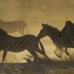 A herd of zebra runs along the shores of the Boteti River.
