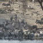 Herds of zebra file to drink from the Boteti River.