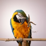 Blue_and_Gold_Macaw.01_IMG_9704
