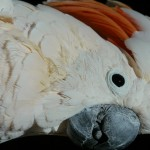 Moluccan_Cockatoo_Closeup_P1080063
