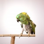 Yellow-Naped_Amazon_Plucked_IMG_9756