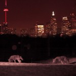 16.Cherry Beach coywolves w city skyline