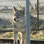 4.CHERRY BEACH COYWOLF2