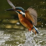 15. Kingfisher 4