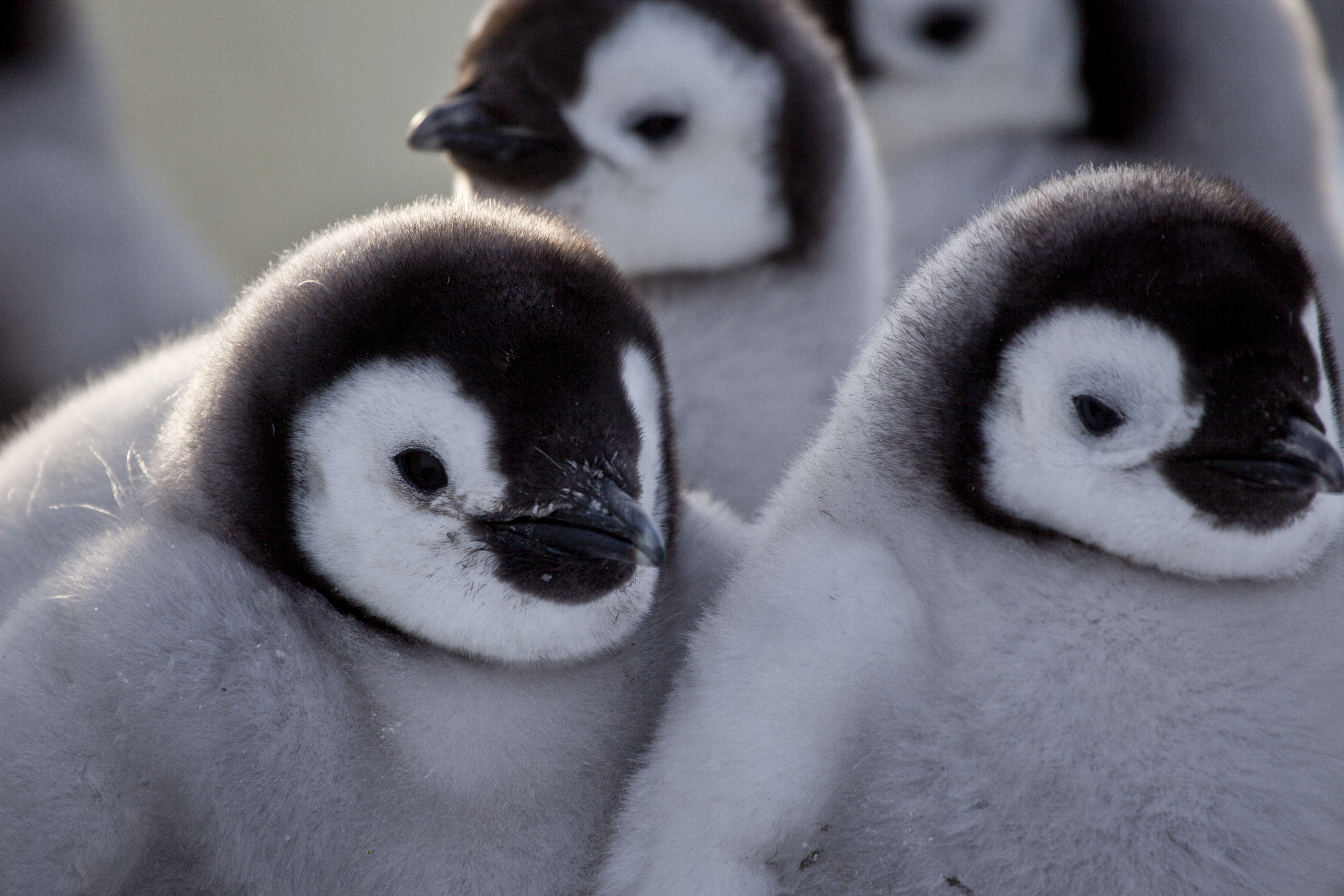 Nature (Season 33) - Penguins: Spy in the Huddle, A Nature ...