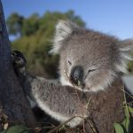 Episode 1.  PICTURE SHOWS:  Tilly the orphaned Koala
