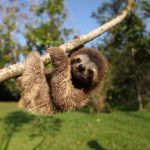 Episode 1.  PICTURE SHOWS:  Baby three toed sloth hanging on tree branch