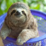 Episode 2.  PICTURE SHOWS: Baby three toed sloth being weighed in plastic basket