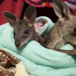 Episode 3.  PICTURE SHOWS: Two orphans share a pouch 1 (Jasper, the black swamp wallaby and Pinot the eastern grey kangaroo)
