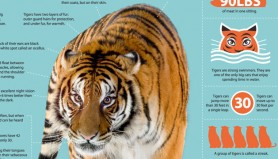 tiger-infographic-mez