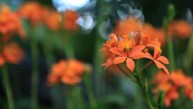 Epidendrum Secret Valley 'Orange Sugar'