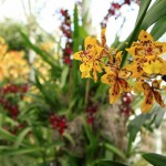 <em>Oncidium Tiger Crow 'Golden Girl'</em><br>Dancing Lady Orchid