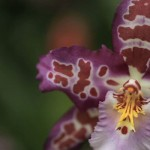<em>Oncidium Tigersette</em><br>Dancing Lady Orchid