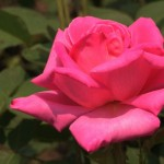'Pink Double Knock Out™' Rose
