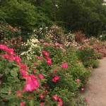 At The Rose Garden there are 4,441 plants and 692 varieties of roses to see.