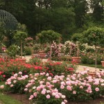 When renovations were made on the Rose Garden in 2006-2007 and the collection was redesigned based on Hybridization efforts. Since 2008, 99.4% of the collection has been replaced with disease resistant and sustainable plants.