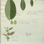 """Leaves, botanical illustration for use in Alaska Moose Group, Hall of North American Mammals,"" by George Frederick Mason, AMNH Digital Special"