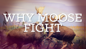 diorama.moosefight1920x1080