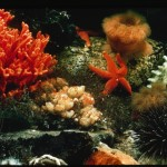 Red sponge and starfish, coral reef