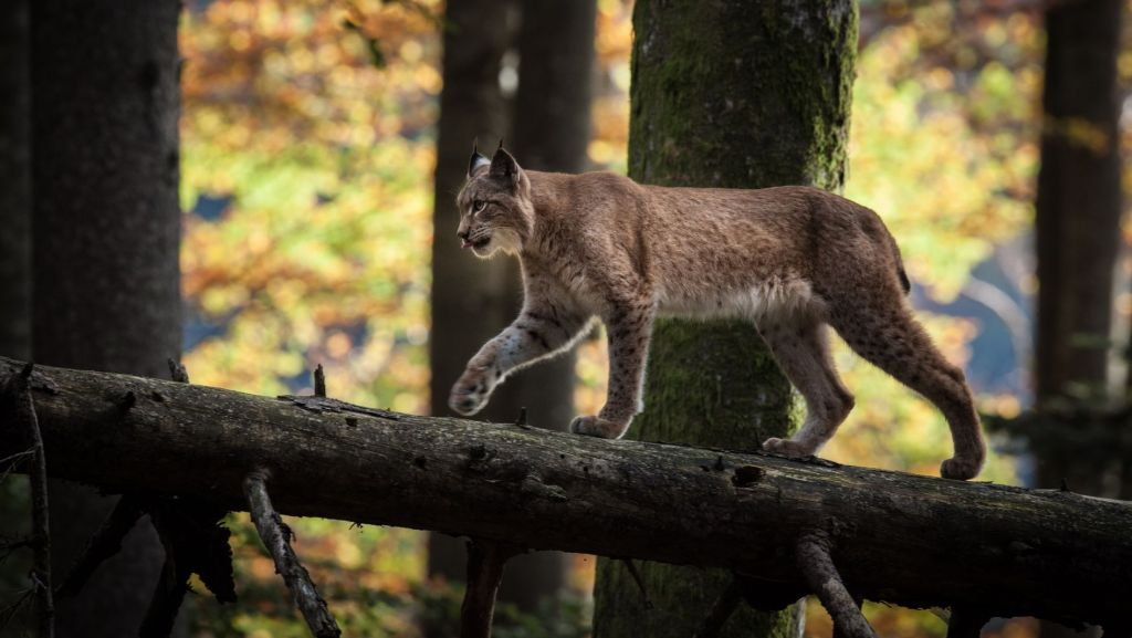 Adult lynx in forest. Kalkalpen National Park, Austria. Nature: Forest of the Lynx.