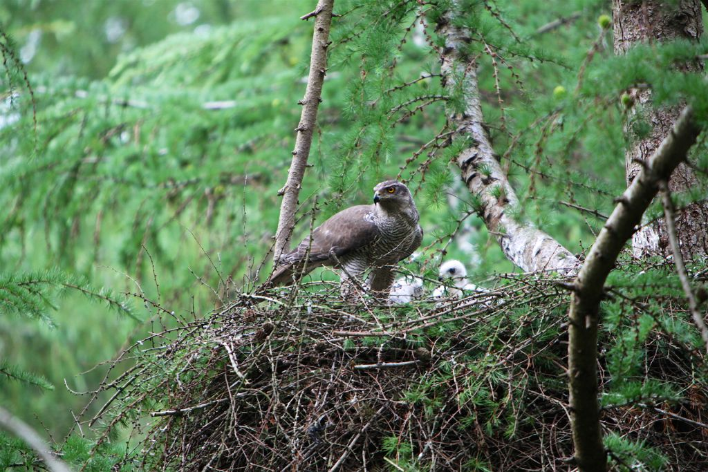 Adult goshawk with white downy chicks at the nest