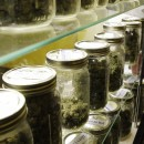 Traditional canning jars hold varieties of marijuana in a cabinet at the La Brea Collective medical marijuana dispensary in Los Angeles. Despite a federal crackdown on California's medical marijuana industry, the restrictive nature of New Jersey's pot program means its probably safe from federal threat. AP/Reed Saxon.