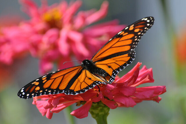 Monarch Butterfly Migration a Part of New Jersey's Fall Colors