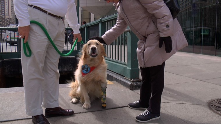 My Bionic Pet: Therapy Dog Shows Benefit of Prosthetics for Animals and Humans
