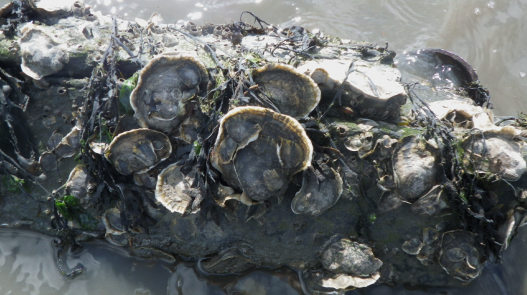 9/4: Oyster Restoration, Supreme City, New York Restoration Project, Special Olympics