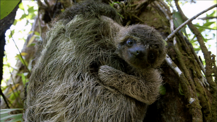 """PBS Nature's """"A Sloth Named Velcro"""""""
