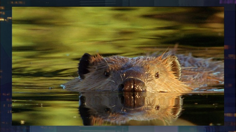 Leave it to Beavers: Re-evaluating an Unlikely Eco-Savior