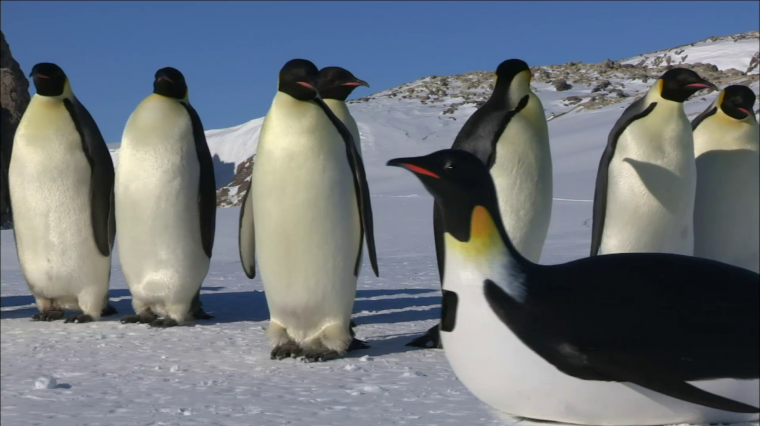 NATURE Three-Part Series Infiltrates Penguin Huddles with Spy Cameras
