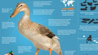 Infographic: All About Ducks