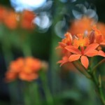 <em>Epidendrum Secret Valley 'Orange Sugar'</em>