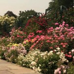 The Rose Garden is a total of 1.04 acres, with 83 different garden beds to enjoy.