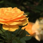 The 'Julia Child™' Rose is a golden flower named after the famous chef, Julia Child.