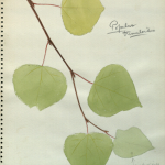 """Cottonwood, botanical illustration for use in Alaska Moose Group, Hall of North American Mammals,"" by George Frederick Mason, AMNH Digital Special Collections."