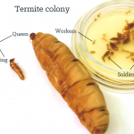 Termite caste system. Left to right: Reproductive male (king) and female (queen). In petri dish. Soldiers (large) and workers (small). AMNH Termite Collection. Photo Tom McNamara.