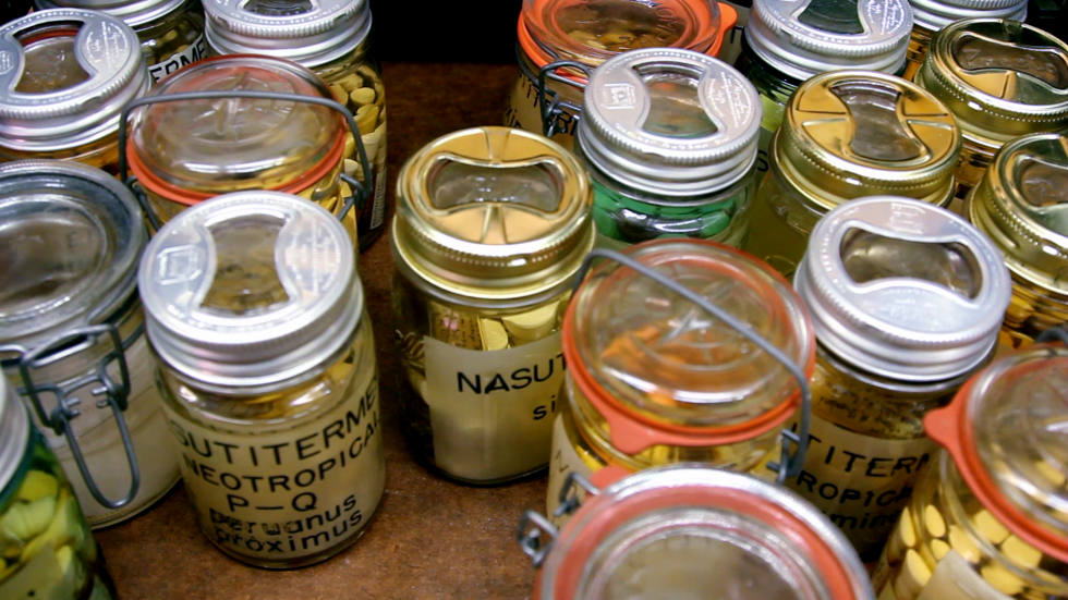 Inside a drawer of the AMNH Termite Collection. Termites are preserved in alcohol in large mason jars. The AMNH collection of termites is, without question, the largest and most comprehensive in the world for these insects, and fully global in scope. AMNH Termite Collection. Photo Tom McNamara.